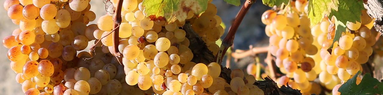 vite, vino, isole, cultura: foglie e uva vite vecchia ansonica Cantine Cesare Scarfò Giglio